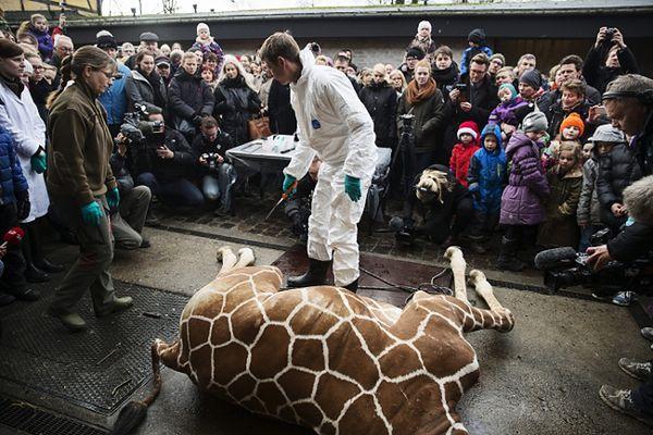 Pracownik zoo ćwiartuje żyrafę na oczach dzieci