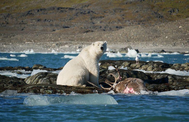 Niesamowite zdjęcia. Niedźwiedź polarny zawitał do polskiej stacji badawczej