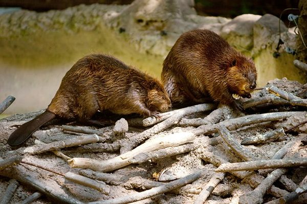 Wielki powrót gatunków w Europie