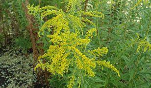 Nawłoć to gatunek rośliny wieloletniej, należący do rodziny astrowatych