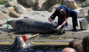 Martwe foki znajdowane nad Bałtykiem wywołują gniew opinii publicznej. Na fot. pracownik i podopieczny fokarium na Helu
