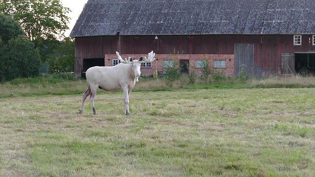 Łoś albinos, który budzi popłoch wśród mieszkańców Värmland.