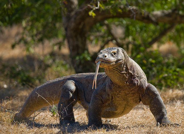 W planach jest także internetowa rejestracja przed wizytą w Parku Narodowym Komodo