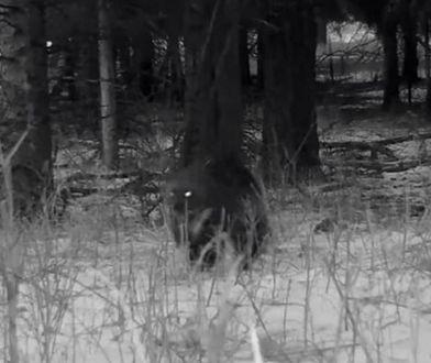 USA. W Parku Yellowstone kamera uchwyciła rzadko spotykane zwierzę