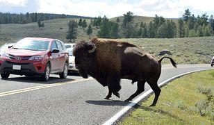 Reporter uciekł przed stadem bizonów. Schował się w bagażniku