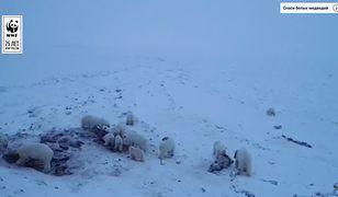 Niedźwiedzie polarne gromadzą się w pobliżu rosyjskiej wioski.