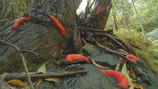 Fluorescencyjny różowy ślimak żyje tylko w jednym miejscu w Australii.