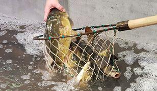 W tym roku hodowcy ryb narzekają nie na ceny zbytu, choć mieli nadzieję na ich wzrost, ale głównie właśnie na destabilizację rynku i upadek tradycyjnego handlu