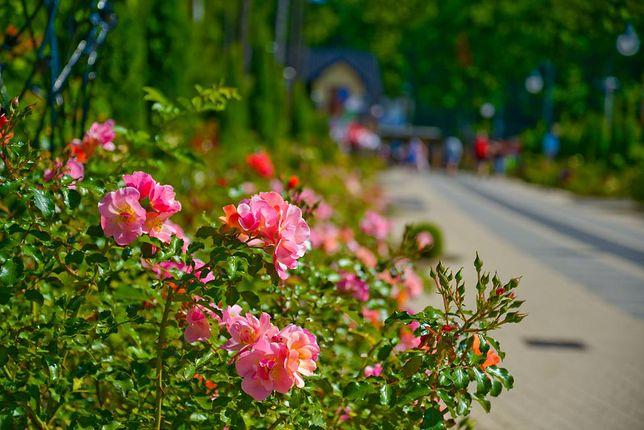 Aleja Róż i Zakochanych w Rewalu