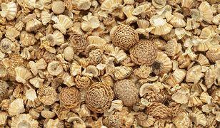 Korzeń bertramu jest źródłem składników odżywczych