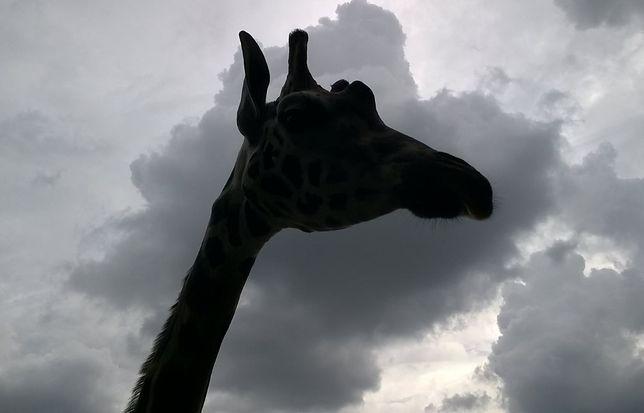 Pracownicy zoo: Pan Żyrafa był wyjątkowy
