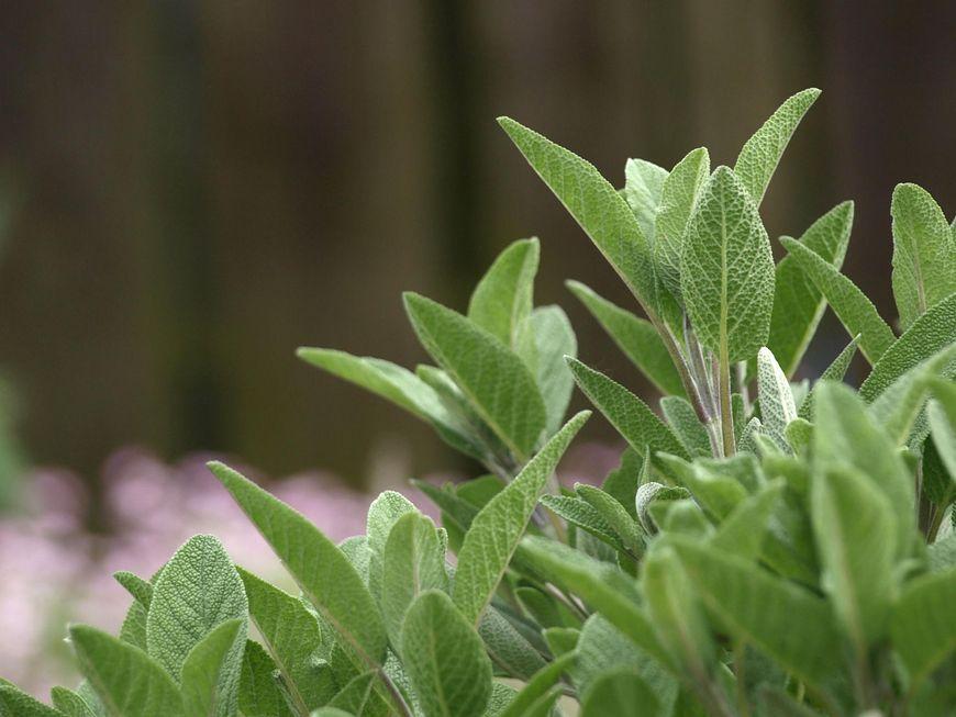 Szałwia jest bogata w wiele cennych składników, które determinują jej świetne działanie