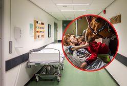 Koń Peyo odwiedza pacjentów. Zwierzę jest wyczekiwanym gościem na oddziale