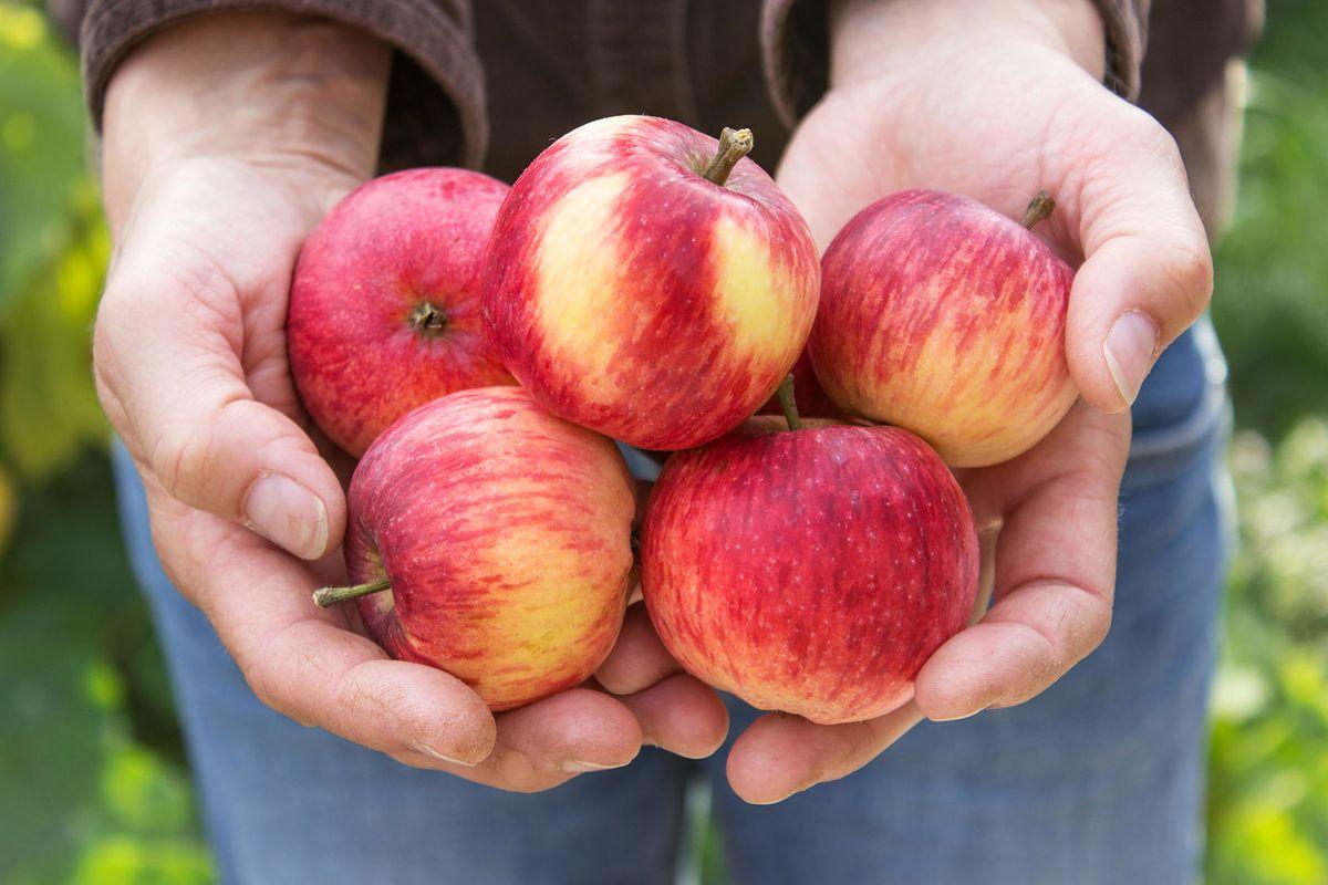 Na targach pojawiły się już polskie jabłka. To kilka tygodni wcześniej, niż w zeszłym roku