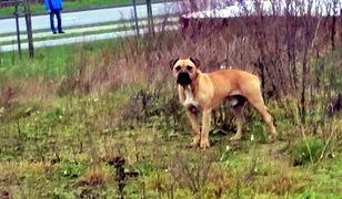 Agresywny pies zaatakował w Mławie (Straż Miejska w Mławie)