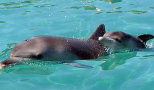 Mały delfin z Australii