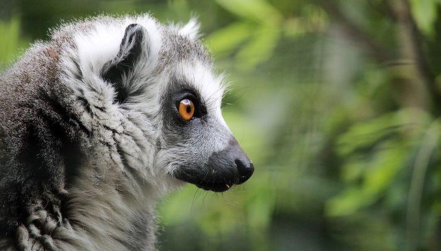 Kilkadziesiąt gatunków lemurów zostało wpisanych do księgi.