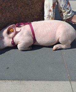Warszawa. Zaginięcie świnki Pupci. Właścicielka mieszkała z inną świnią również w Londynie