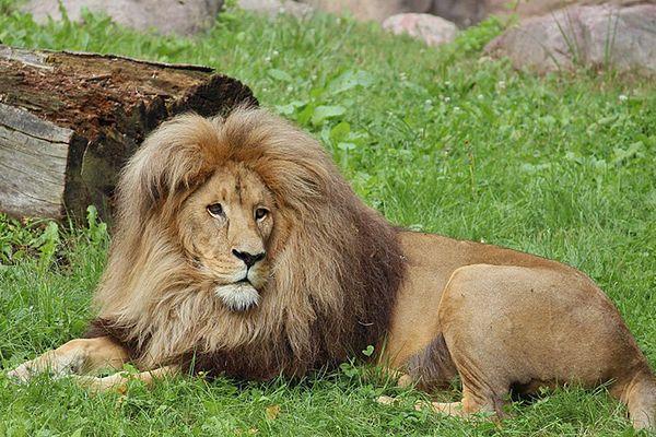 Niezwykle rzadkie lwy po 20 latach wróciły do Trójmiasta