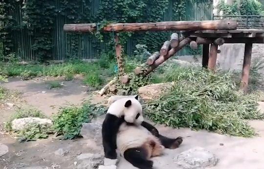 Turyści chcieli obudzić śpiącą pandę. Rzucali w nią kamieniami