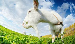 Koza Caterina pracuje jako ogrodnik. Włoskie miasteczko zatrudnia również owce i osiołka