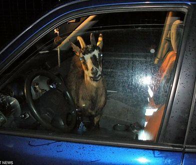 Witkowice. Policjanci zatrzymali jadących na osiemnastkę z kozą w skarpetkach