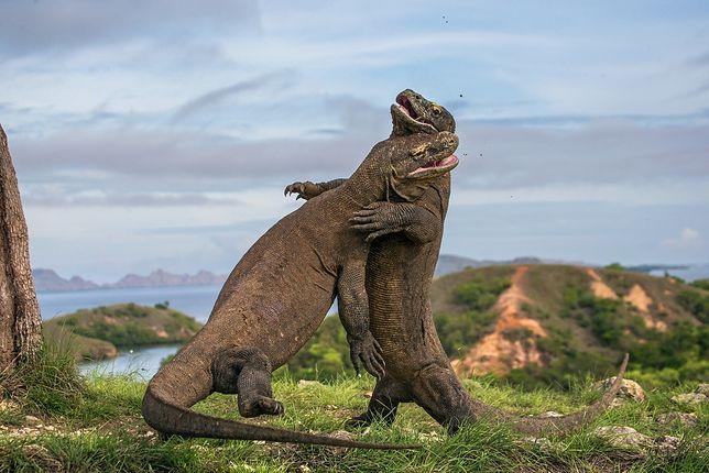 """Największe na świecie jaszczurki, zamieszkujące indonezyjską wyspę Komodo nazywa się """"ostatnimi smokami"""""""
