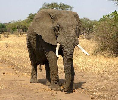 """""""Człowiek zmienia anatomię zwierząt"""". Tak kłusownicy wpłynęli na słonie"""