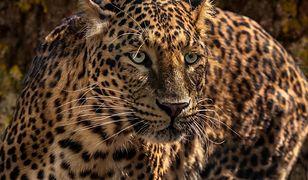 Zaczepiał jaguara w zoo w USA. Zwierzę nie wytrzymało