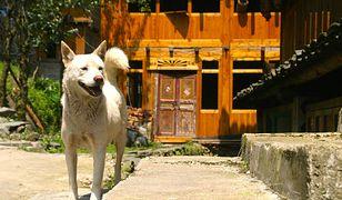 Wszystkie psy z Shenzhen w Chinach zostaną zachipowane.