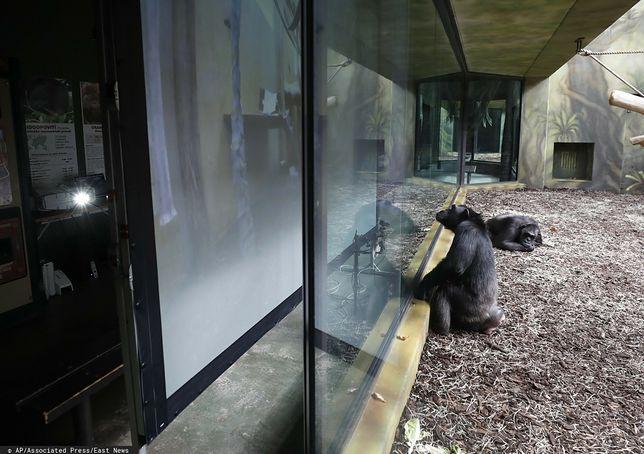 Małpy oglądają inne małpy w Czechach