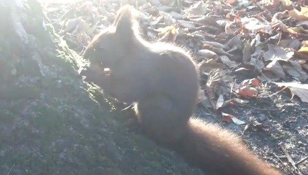 Bliskie spotkanie z wiewiórką w Łazienkach Królewskich [WIDEO]