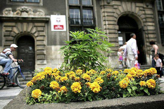 Przed sądem w Gdańsku rośnie... marihuana? - zdjęcia