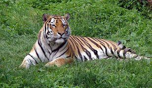 Tygrys syberyjski może ważyć nawet 300 kg