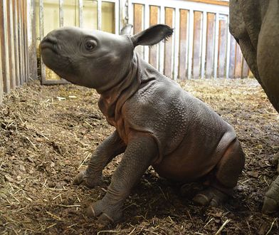 Nosorożec od razu po porodzie potrafi chodzić