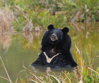 Żółć niedźwiedzi stosowana w Chinach w leczeniu koronawirusa