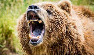 Niedźwiedź jaskiniowy wyginął przez człowieka