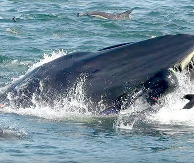 Nowa metoda ważenia wielorybów nie wymaga ich zabijania