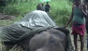 Słoń padł i już nie wstał