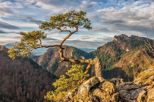 Sosna na szczycie Sokolicy - jeszcze w pełnej krasie
