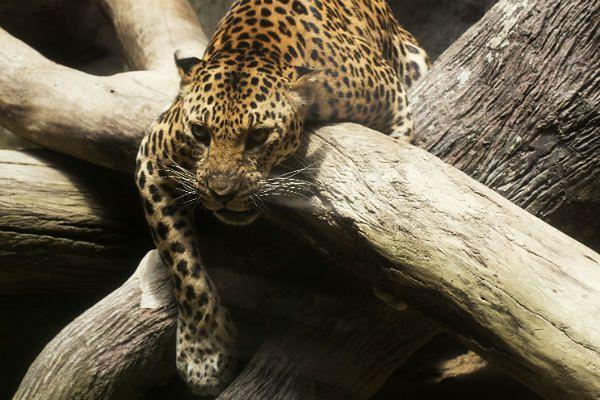 Tragiczny wypadek w zoo. Jaguary zaatakowały 3-latka!