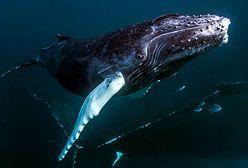 Dziwne zachowanie wielorybów. Naukowcy nie wiedzą, czemu tak robią