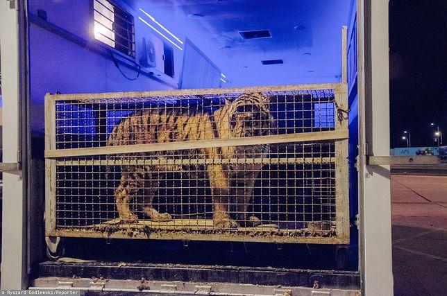Organizator transportu tygrysów trafił do aresztu