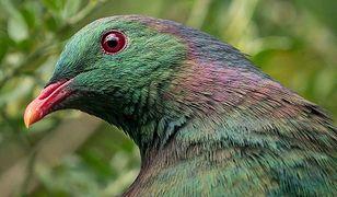 Kereru to ptak rdzennie zamieszkujący Nową Zelandię. Jest obecny w maoryskiej kulturze, w legendach i folklorze