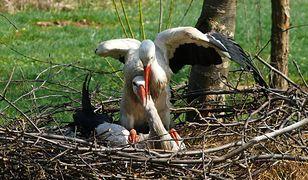 Bociany to ptaki, które wiążą się w stałe związki
