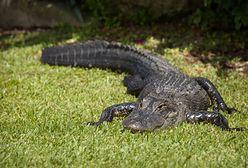 Floryda. Aligator na boisku piłkarskim. W sieci pojawiło się wideo