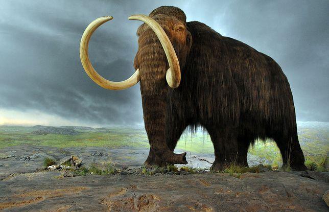 Ostatnie mamuty wyginęły ok. 10-8 tys. lat p.n.e