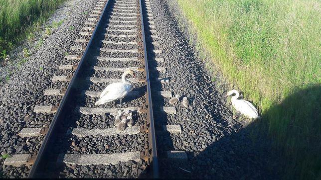 """Rodzina łabędzi wstrzymała ruch pociągów. """"Tego jeszcze nie grali"""""""