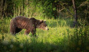 57-latek zabity przez niedźwiedzia. Dramat w Niżnych Tatrach