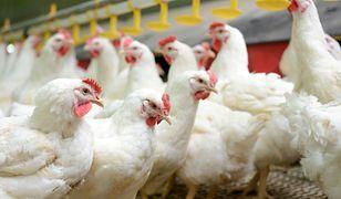 Ostrzeżenie GIS dotyczące ptasiej grypy. Miałeś kontakt z ptactwem? Zachowaj higienę